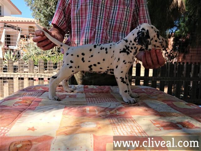 cachorro dalmata angustus aditus de cliveal