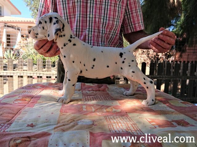 cachorro dalmata catulus de cliveal costado izquierdo