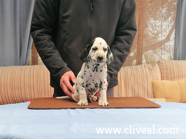 cachorro dalmata celeripedis de cliveal 2
