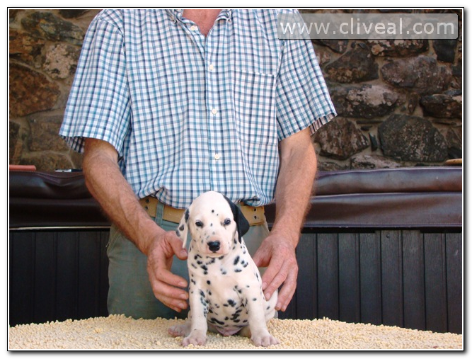 cachorrito dalmata con parche llamado auster de cliveal