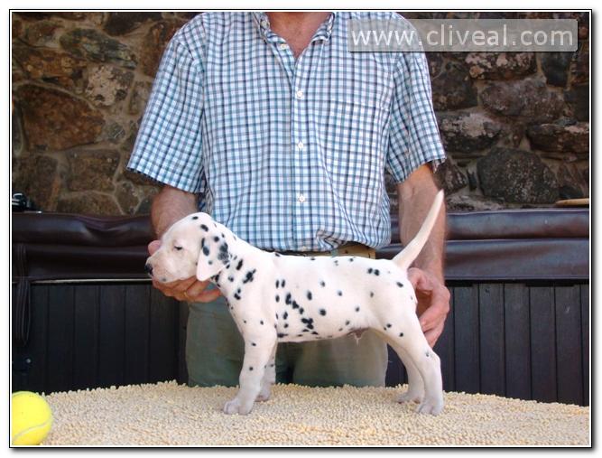cachorro dalmata de nombre dum licet fruere de cliveal