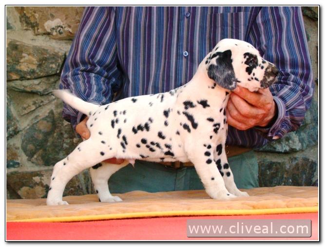 cachorro dalmata index de cliveal
