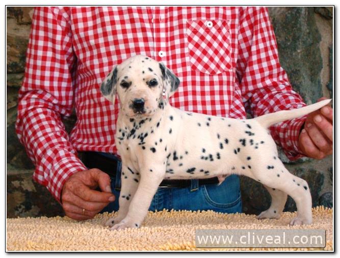 cachorro dalmata persii de cliveal 1