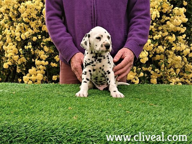 cachorro dalmata principium motus de cliveal vista frontal
