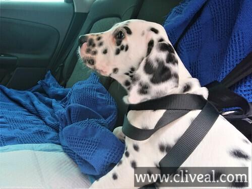 cachorro viajando coche
