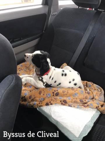cachorro viajando