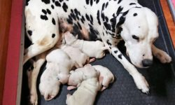 dalmatas cachorros con su madre